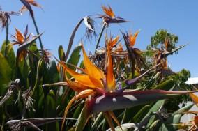 Kybunga - Birds of Paradise